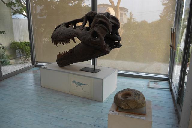 いい場所に恐竜の頭がある。アンモナイト、やっぱり地味なのかな……