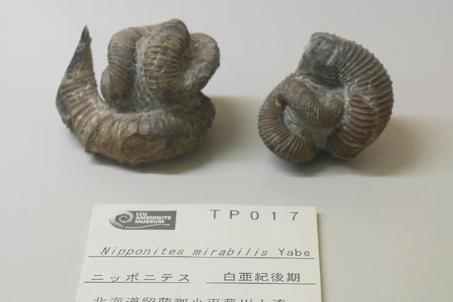 異常巻きの王様、ニッポニテス。北海道で採れるマニア一番人気の品。たしかに異常だが、これが王様か~。