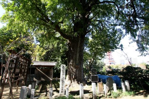戦前から残るのは、徳川家光が植えたとされるこの大イチョウと、ご神体の家康像だけだという
