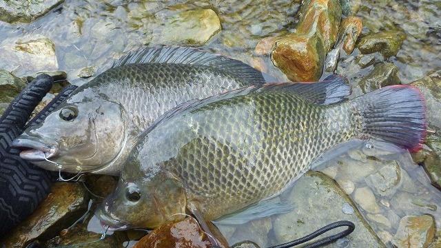 ティラピアってこんな魚。