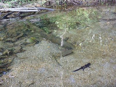 沖縄の川と言うと濁っているイメージを持たれがちだが、北部の河川、しかも上流域となるととても澄んでいる。