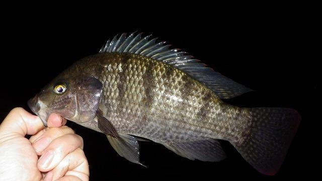 はい一丁上がり。ティラピアってこんな魚です。