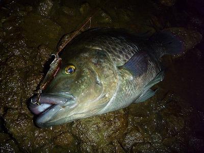 疑似餌でも釣れる。もはやエサすらいらないのだ。これは全長40センチと沖縄のティラピアにしてはそこそこ大物。
