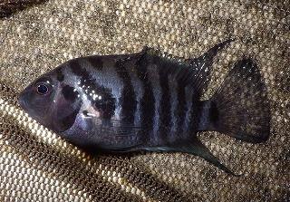 これは那覇で捕まえた中米原産のコンヴィクトシクリッドというティラピアの親戚のような魚。本当に沖縄は外来魚ばっかりだ。