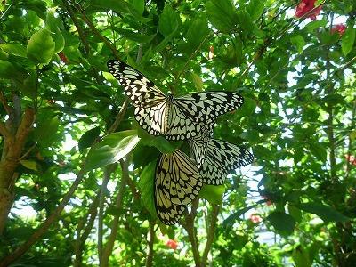 日本最大の蝶、オオゴマダラ。今回はこいつらをメロメロにして差し上げる。