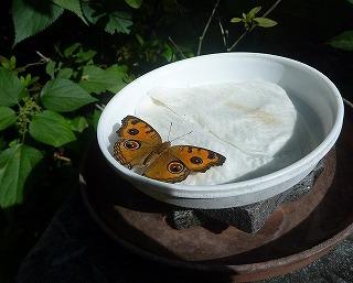 漫湖公園のちょうちょガーデンにはオオゴマダラ以外の蝶もたくさんいる。これはタテハモドキという蝶。