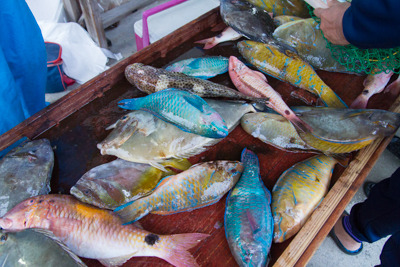 イラブチャー(ブダイ)など色鮮やかな魚も