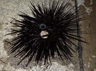 沖縄の漁港には巨大なガンガゼ(毒ウニ)の一種が多い。こいつの針は何本あるんだろう。