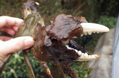 モクズガニのハサミには柔らかい毛がモサモサ生えていて熊のよう