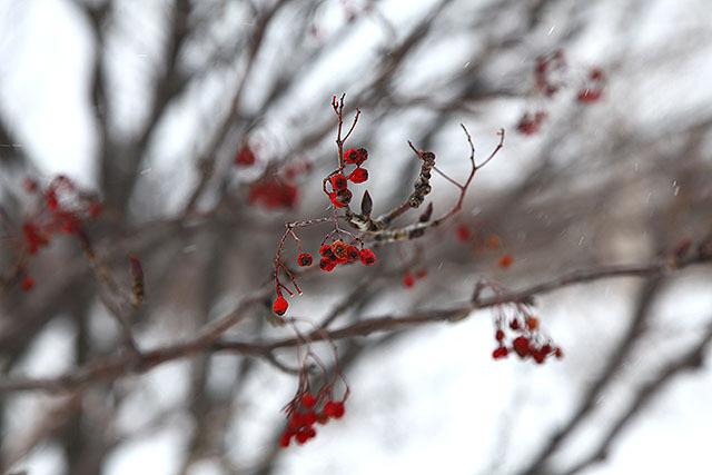ナナカマドの実ですかね?赤い実が背景の雪に映えるのだ。