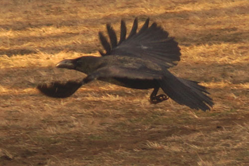 美しい飛翔フォーム。羽を広げると1mにもなる