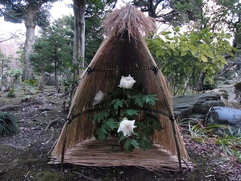 冬でも綺麗なバラが咲く旧古河庭園。入園料150円と良心的