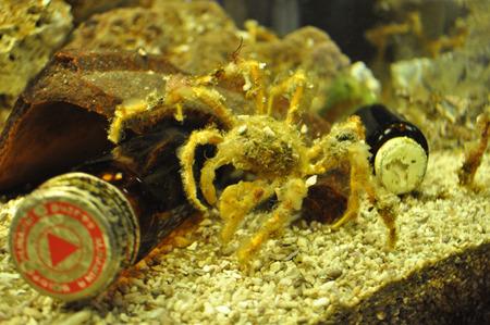 クモみたい…かもしれない…。藻屑を体に引っ付けるモクズショイというカニ。