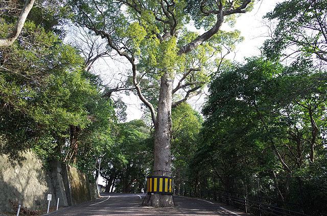 巨木は健在。