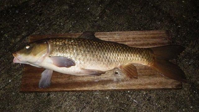野生の鯉をつかまえて食べる。それだけですごい記事なのですが臭みを取るはずが臭みがないと慌てるライターに注目です。野鯉食べるだけで十分だから! と応援したくなる記事。(古賀)