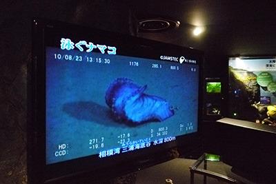 珍しいナマコの泳ぐ姿も見られます。