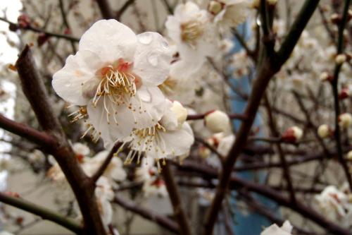 梅の花が咲いていた
