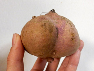 芋は焼き芋にするとおいしい安納芋。