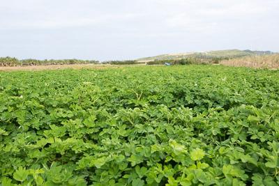 島にある畑の3割くらいは長命草の畑に