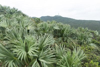 与那国島にはクバの森がたくさんある