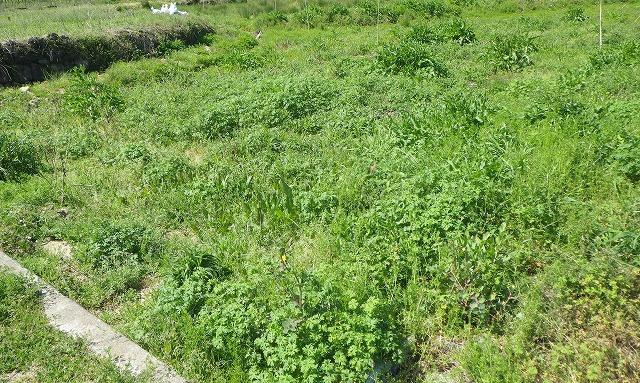 その雑草は陽当たりの良い空き地や荒れ地にふつうに生えている。