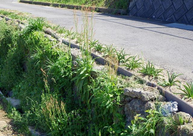 石垣の隙間からも生えていた。エクストリーム生育。