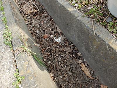 ここに落ちたホタルミミズが、そのままこの側溝で繁殖しているという推理。