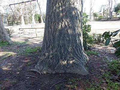 探し始めて3分、この木の根元で糞塊を発見。