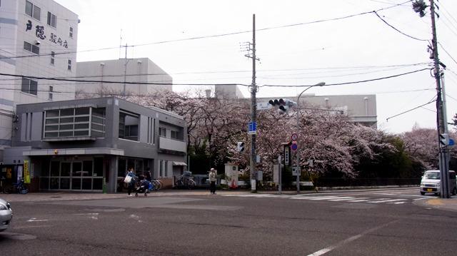 見事な桜が見える交番で聞いてみる