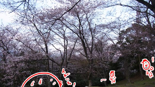 一面に桜の木がある場所についた。突然おじさんがチラホラ現れてびっくり