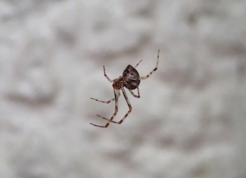壁ぎわに網をはっていた。ヒメグモの仲間かな?クモの同定むずかしい……