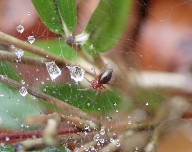 クサグモの幼体だろうか。雨に濡れた網が美しい。