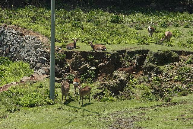 島のあちこちに野生の鹿がいる。(鹿について詳しくは後ほど)