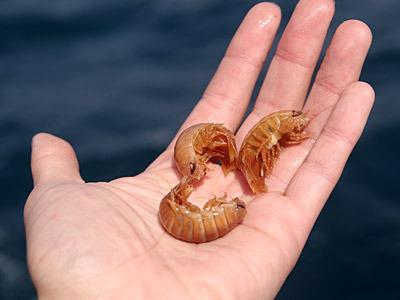 フナムシサイズのオオグソクムシも、大物とはまた違った魅力があると思う。ある意味リアリティのある大きさなので、ダメな人は絶対ダメだろうが。