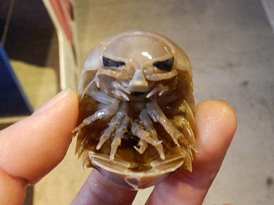 殻がものすごく硬い。グソクムシは漢字だと愚息虫ではなく具足虫。甲冑のことである。