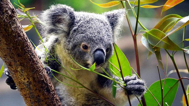 コアラはかわいい