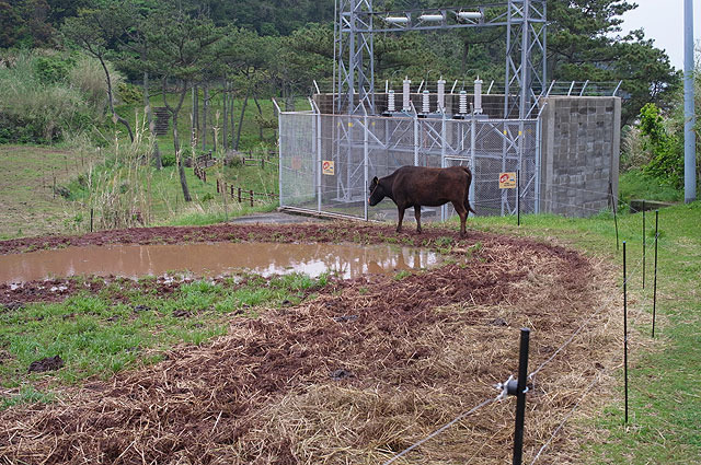 そこかしこでカジュアルに牛と出会う。