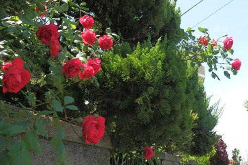 赤い薔薇が満開