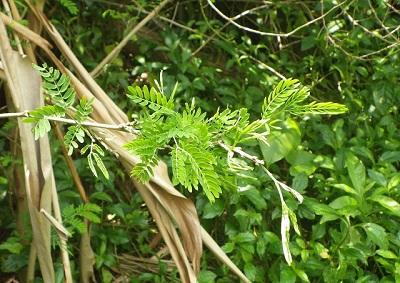 沖縄本島ではあちこちで見られるマメ科植物のギンネムの葉。沖縄の人にとってはもはや見慣れた存在だが、実は外来種。