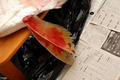鰭の先に水ぶくれのように血が溜まってきた。傷みはじめたサインかもしれない。急がなくては。