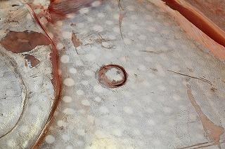 体表に残っていたダルマザメの歯形。中眞水産さん、次はこいつを仕入れてください!