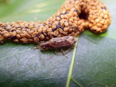 わずか数ミリととても小さなカメムシも発見。オオコウモリの糞に来ていた。