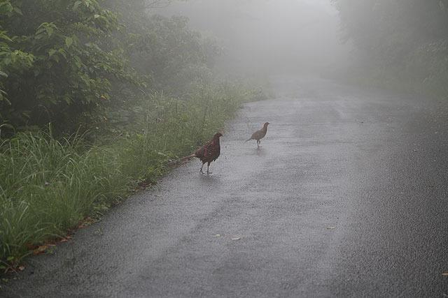 道にでかい鳥の親子がいた。