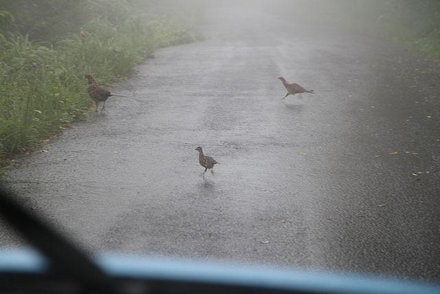 キジだろうか?ちょっとその辺では見ないタイプの鳥。