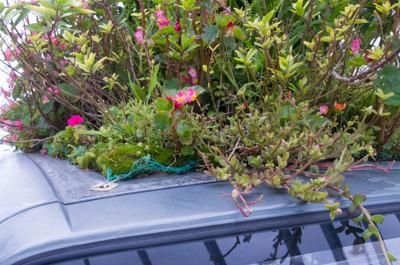 ピンク色の花が浜比嘉島でおばさんが指してくれたマツバボタン