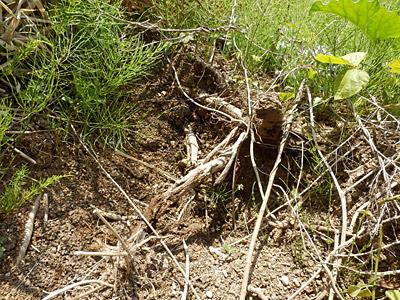 デンプン質の多いクズの根(葛粉の原料)が、そこらじゅうでイノシシによって掘られている。