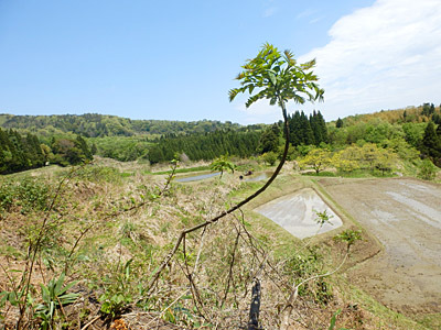 収穫時を逃したタラノメの向こうに広がる棚田という、大変に俺好みの景色。