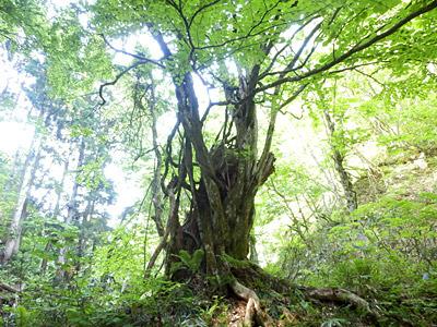 休憩場所は大木の下。せっかく教えてもらった木や山菜の名前をほとんど忘れている自分の頭が憎い。