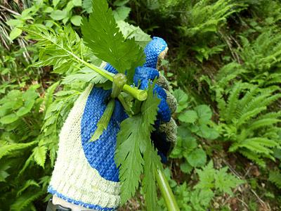 「ニンジンの匂いがするよ」と言われて嗅いでみると、確かにニンジンだ!もちろん若い葉を天麩羅にするとうまいそうです。