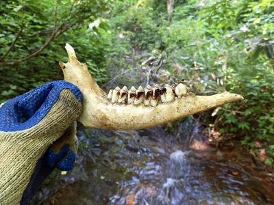 水を飲んだすぐ上流で、カモシカと思われる骨を発見してしまう。うへえ。